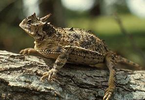 photo de lézard cornu fournie par le Département de la vie sauvage et des parcs du Texas